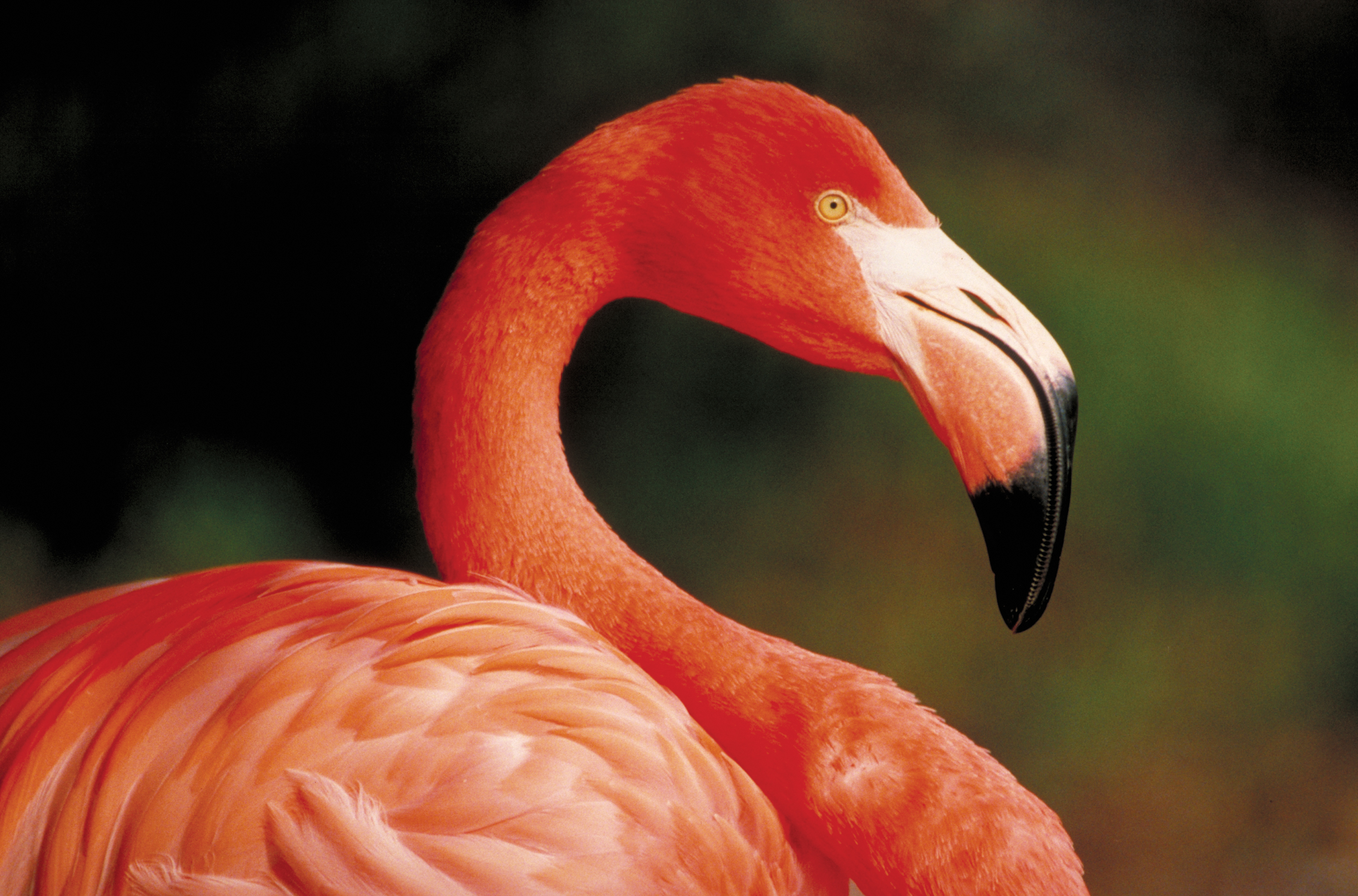 carribean flamingo_2