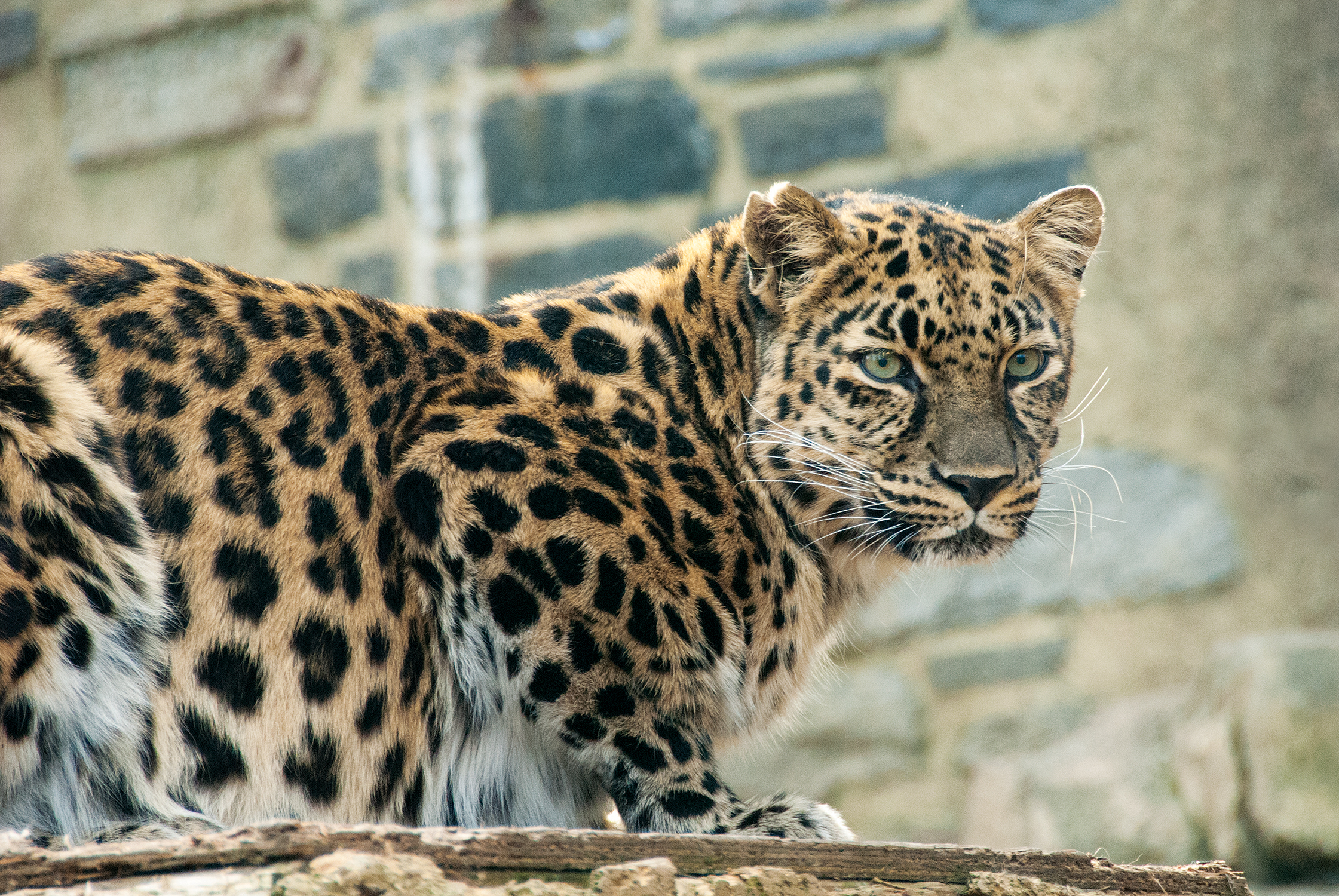 amur leopard_background