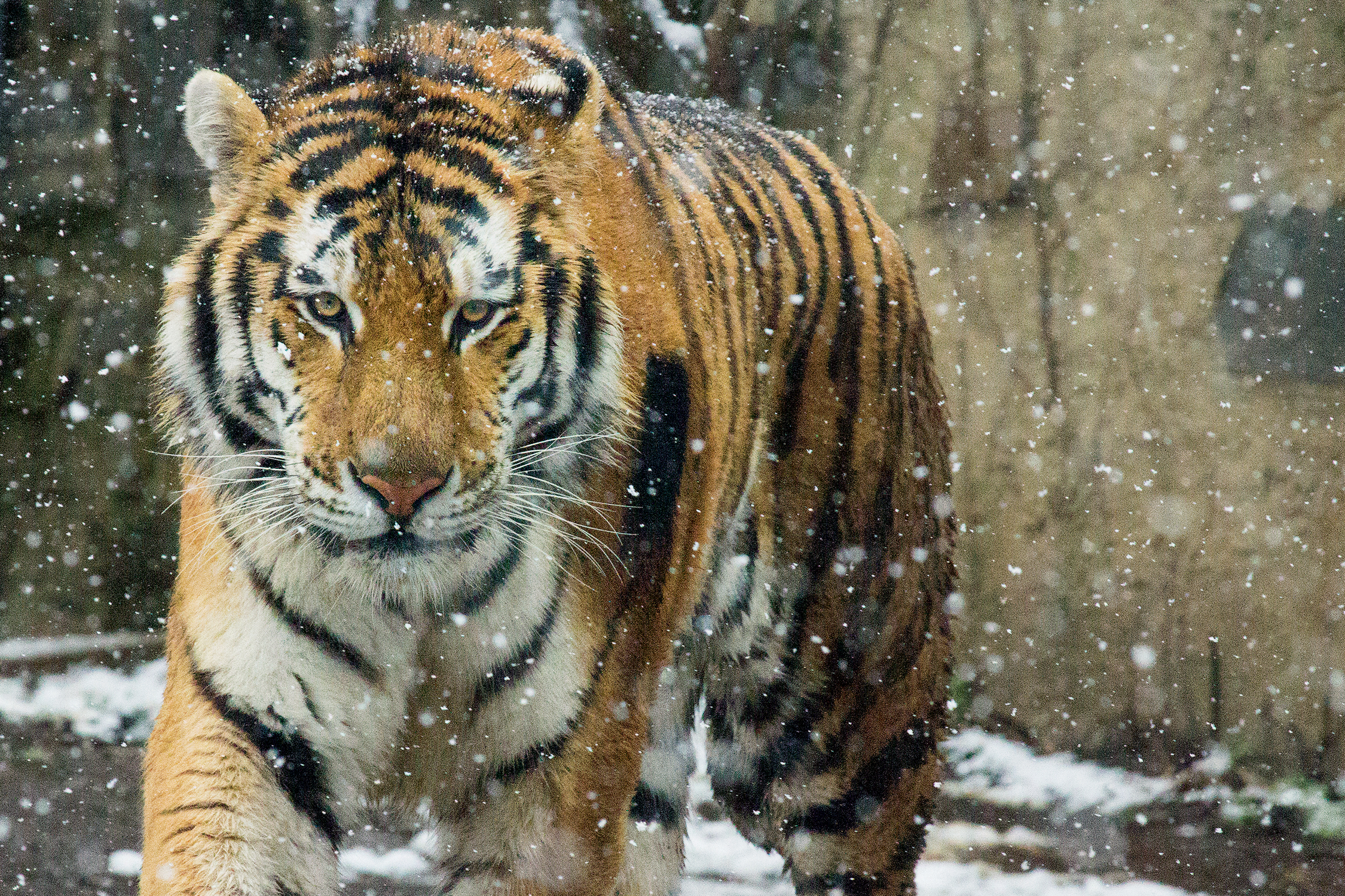 amur tiger_background