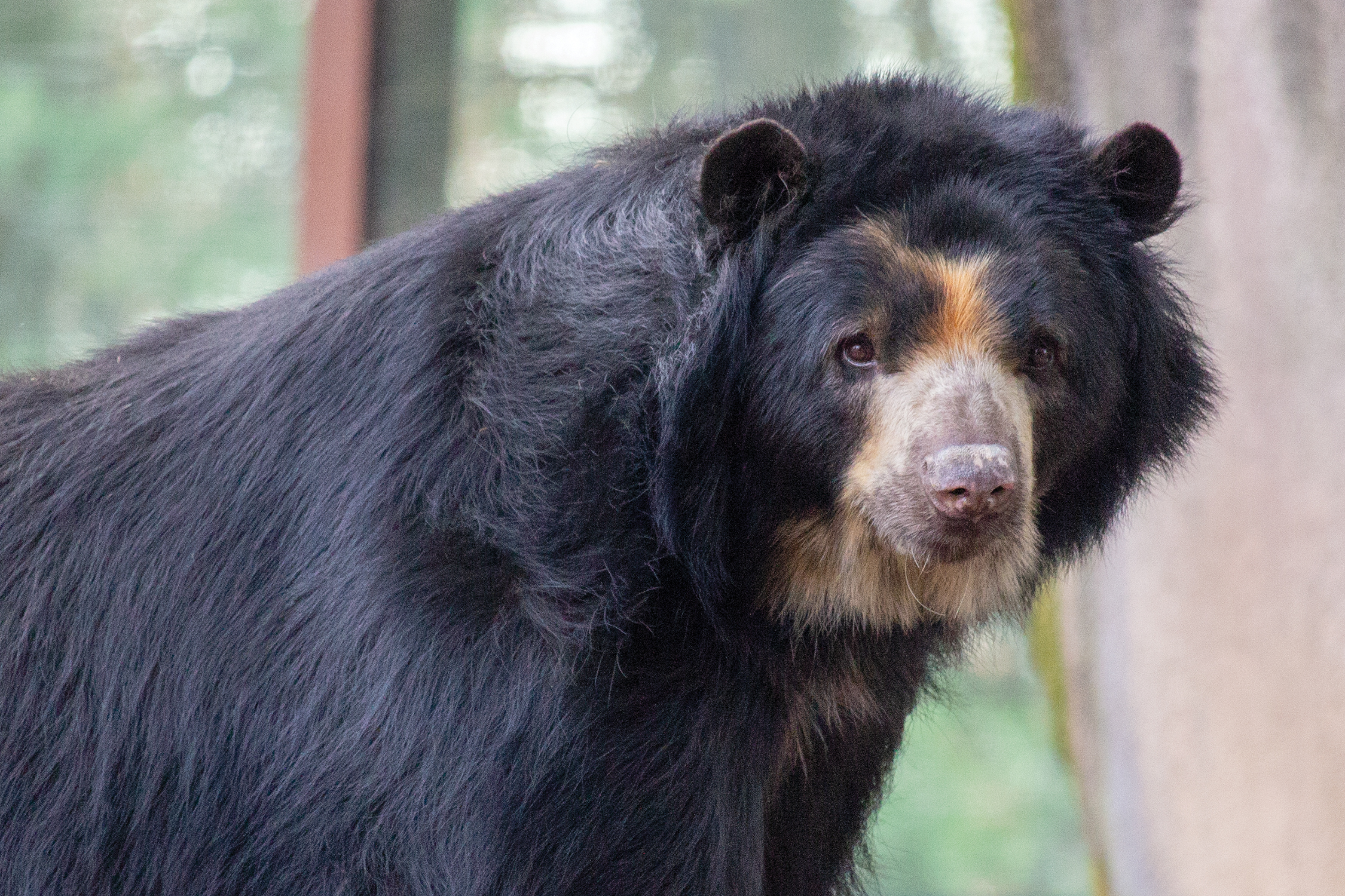 andean bear_background