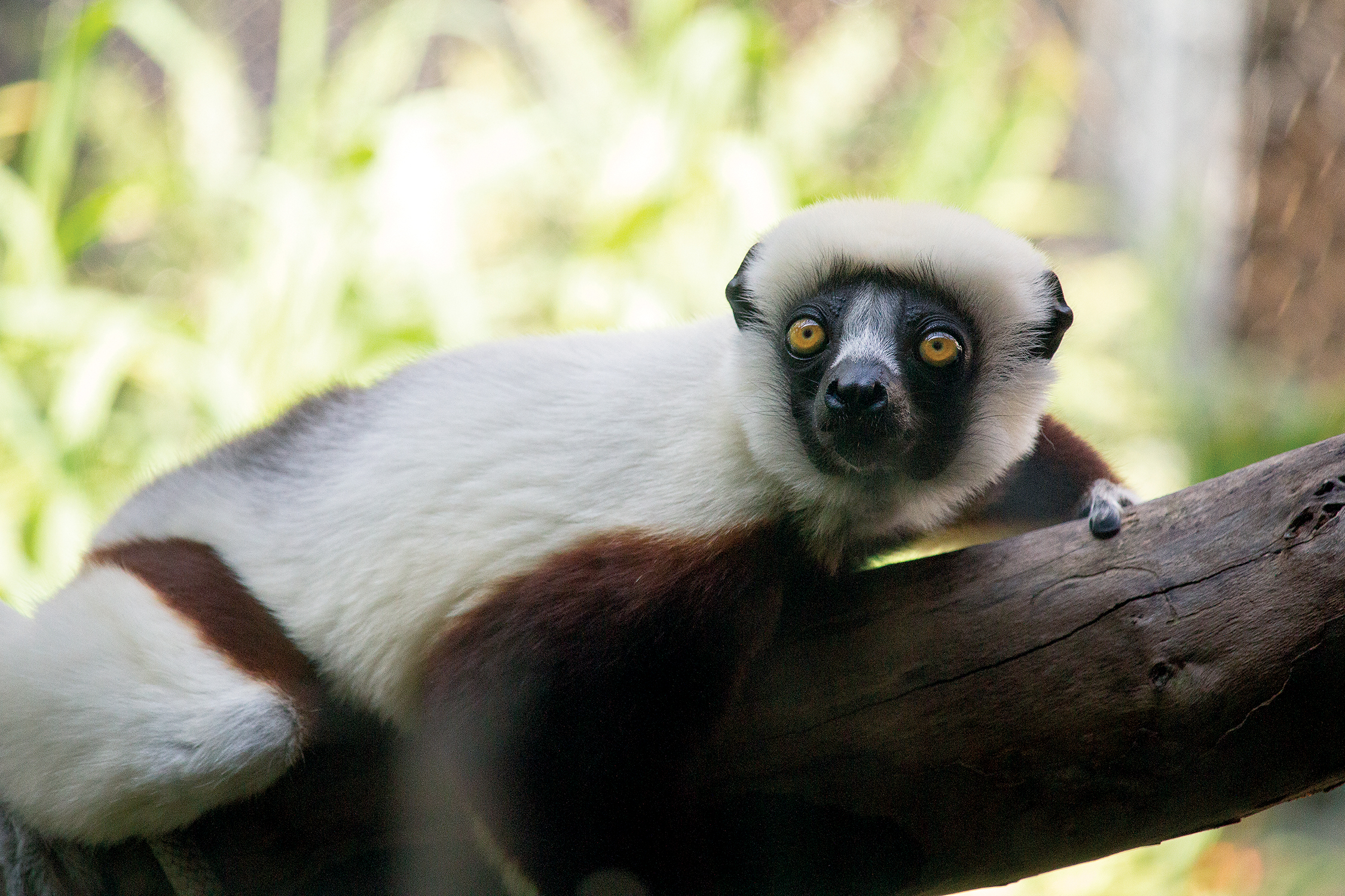 coquerel's sifaka_background