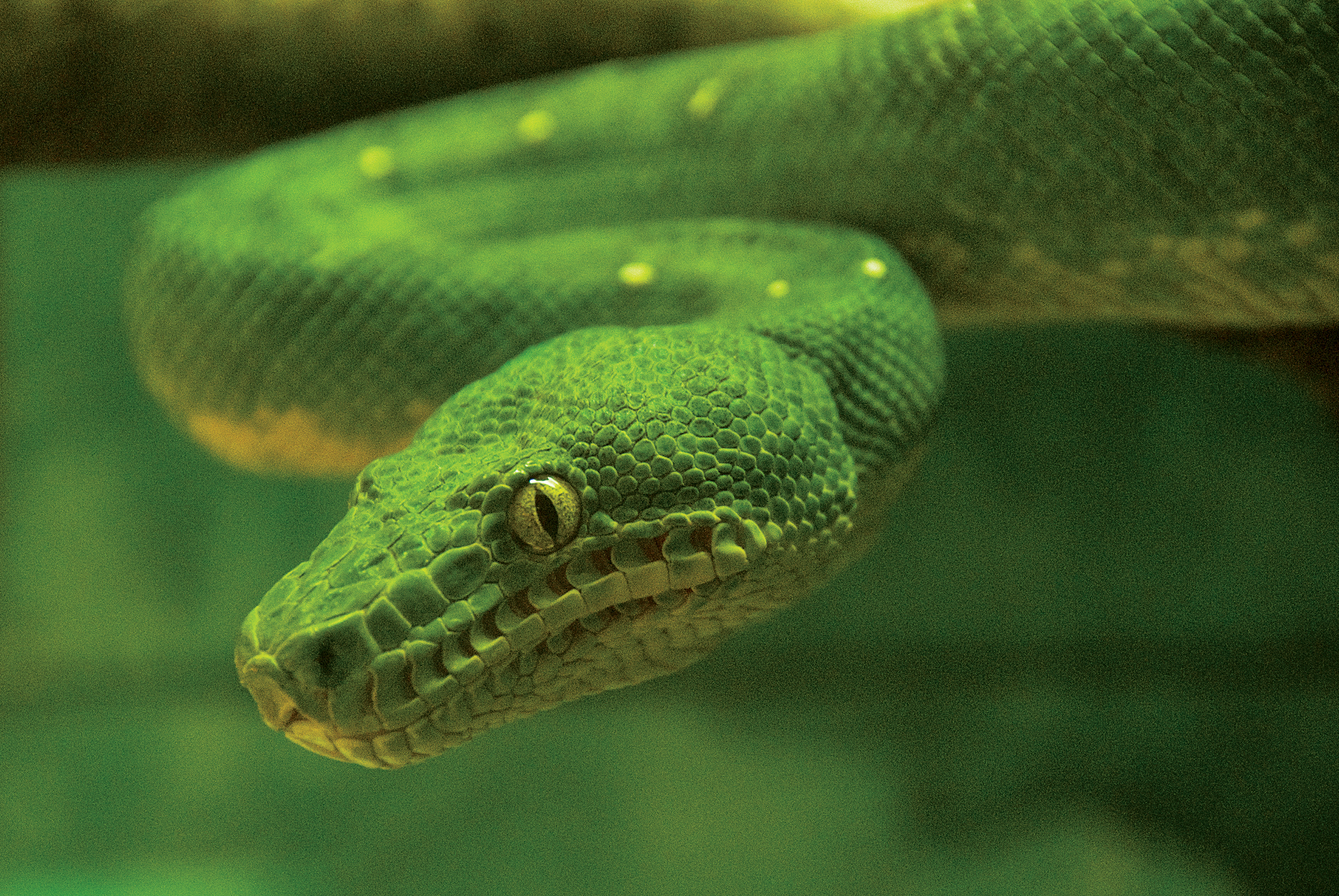 emerald tree boa_background