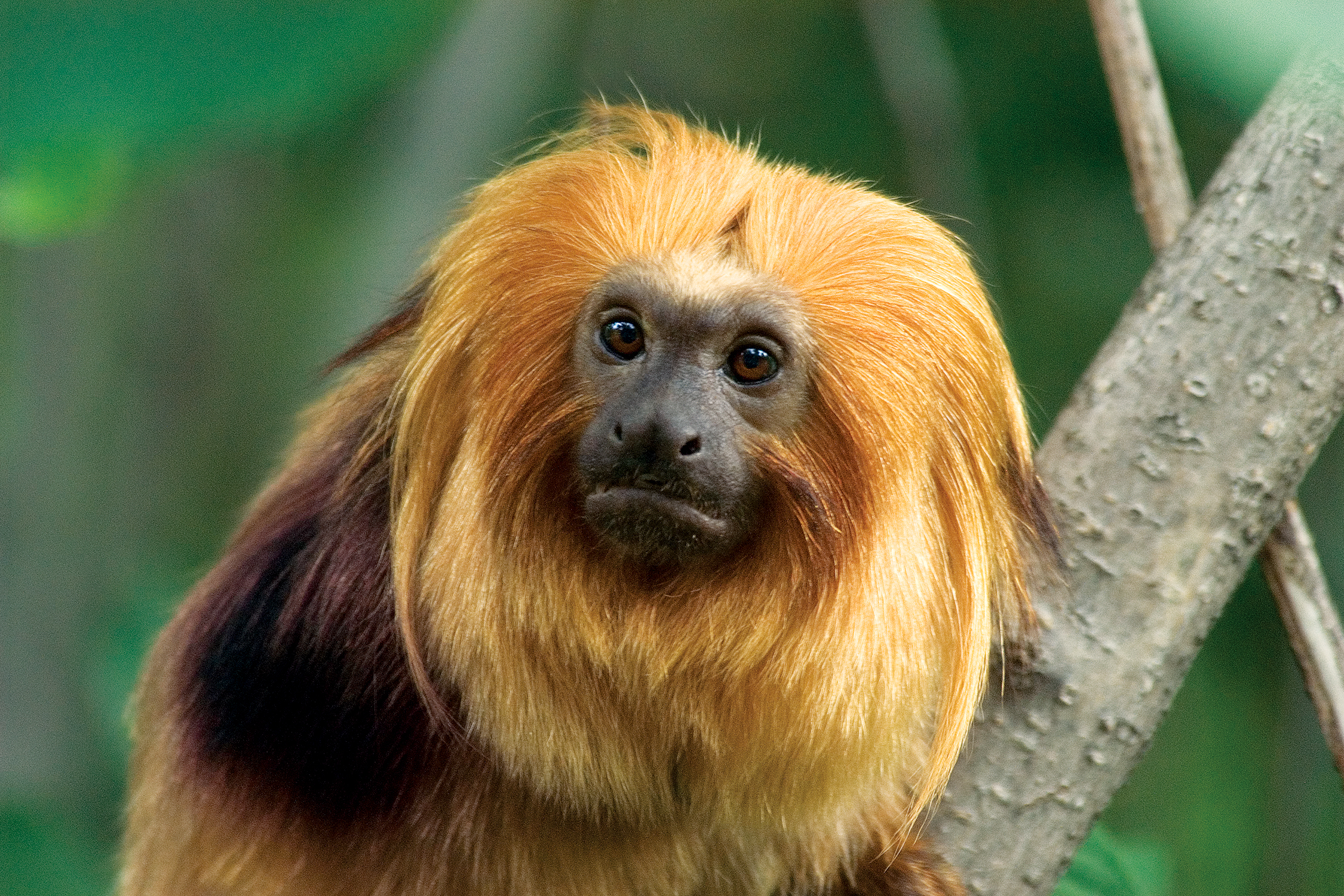 golden lion tamarin_background