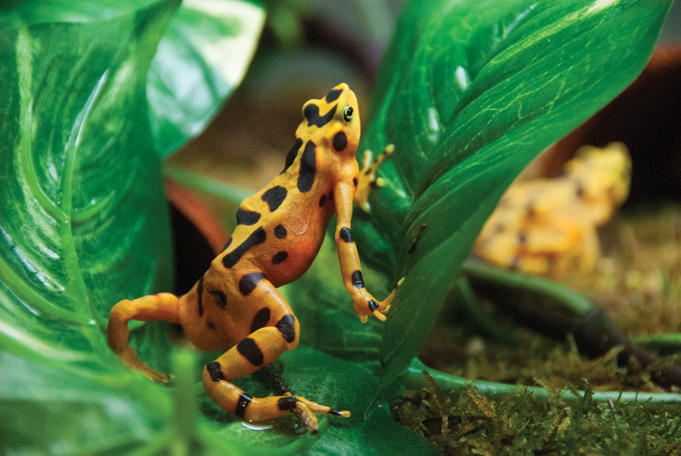 panamanian golden frog_background