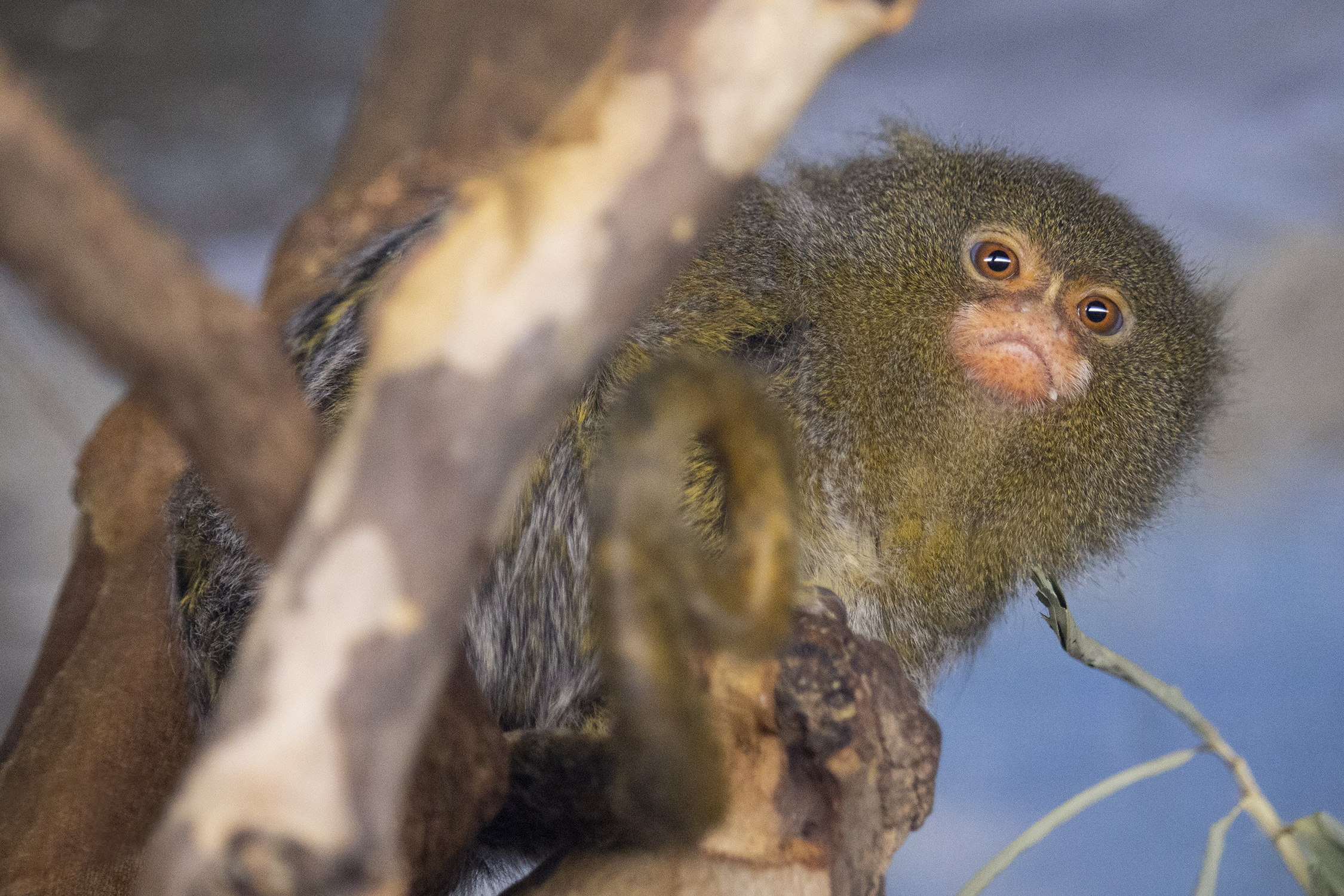 Pygmy Marmoset_header