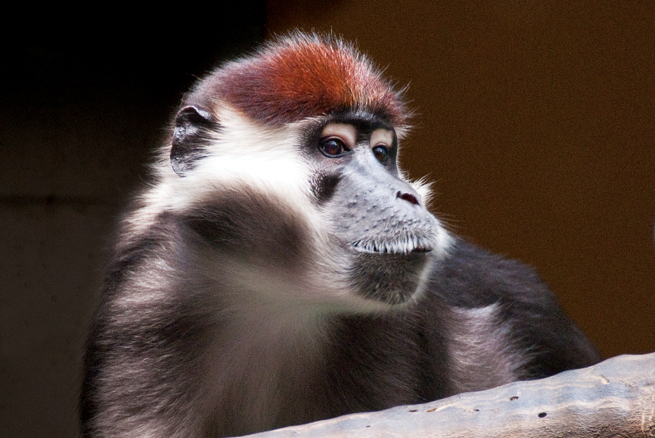red-capped mangabey_background