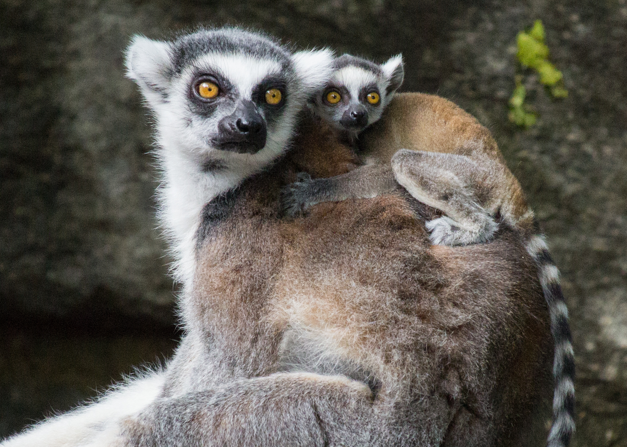 ring tail lemur_header