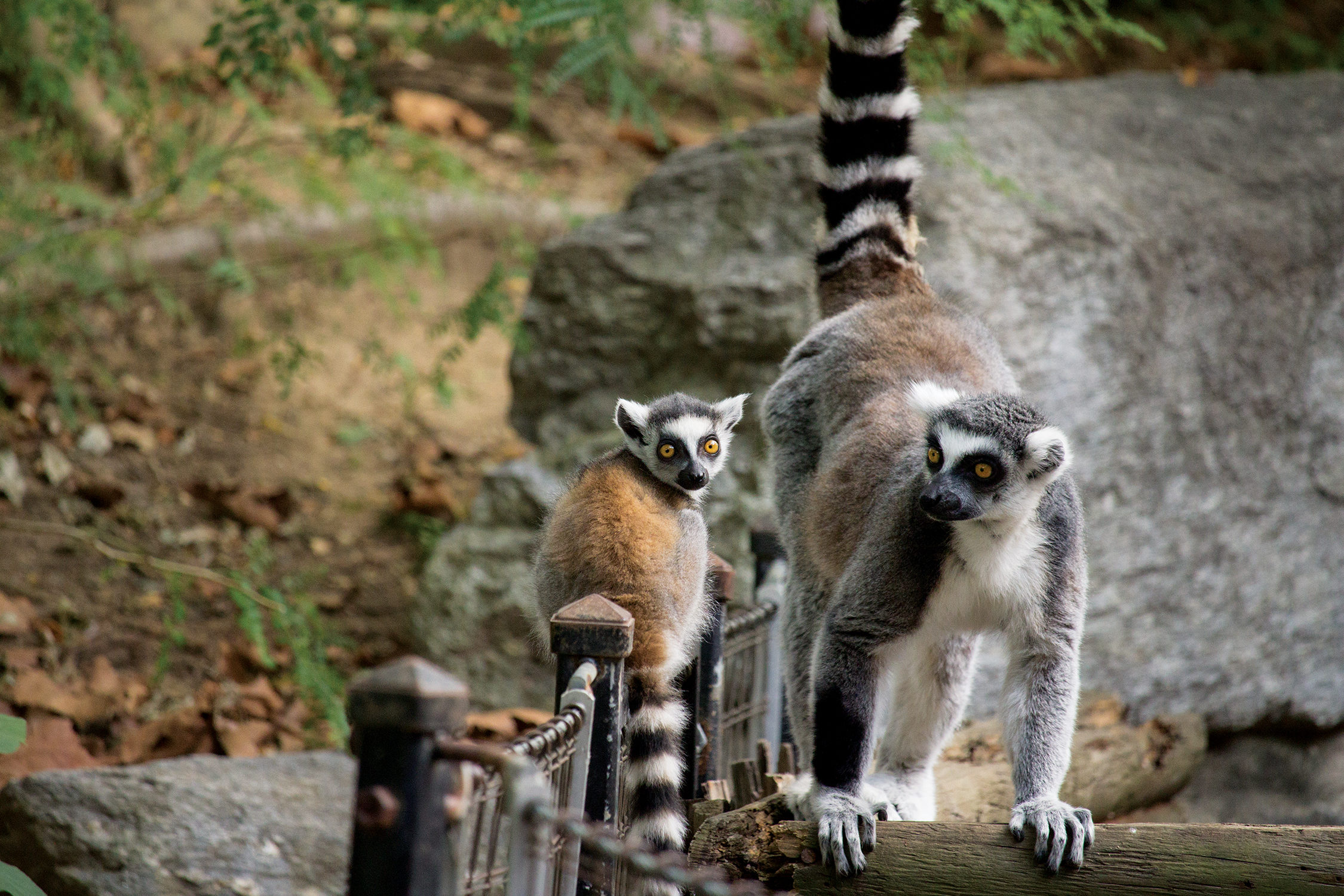 ring-tailed lemur_overview