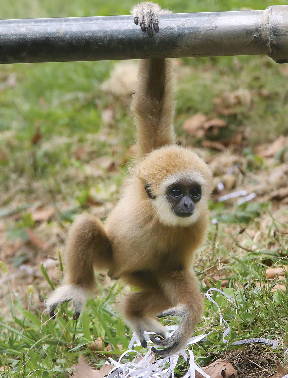 Gibbon_overview