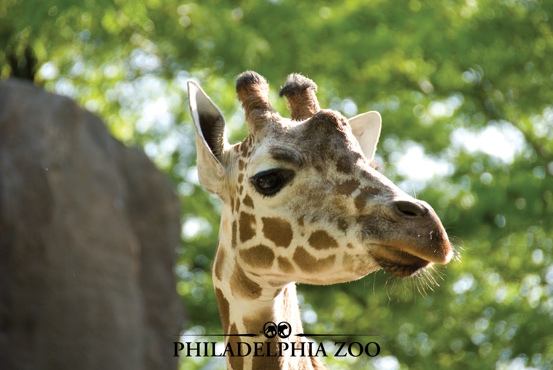 African Plains Giraffe